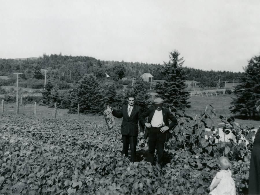 B14 - Adrian  Van Berkel and Adrian Van de Sande examine the turnips crop, Salt Springs, 1957